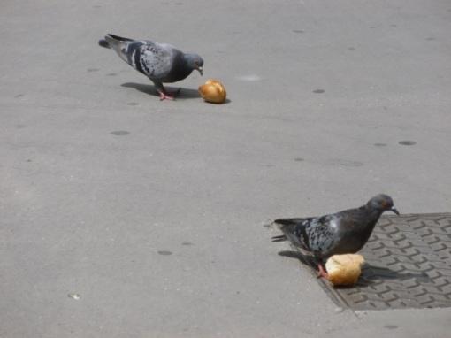 pigeons2